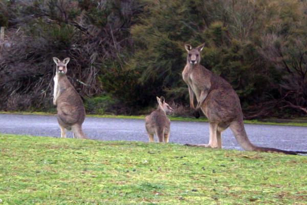 Kangaroos Running Amok