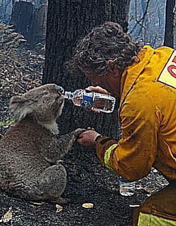 koala_bushfire_firefighter