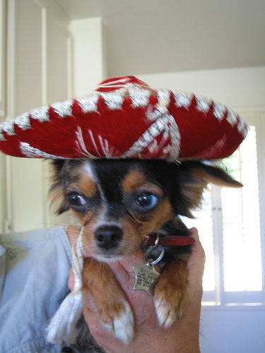 a dog being tortured by being forced to wear a sombrero